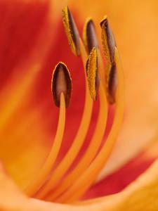 Hybrid Daylily by Adam Jones