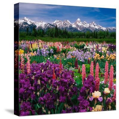 Iris and Lupin Garden, Teton Range