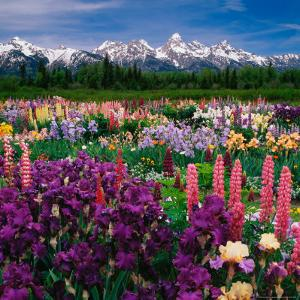 Iris and Lupin Garden, Teton Range by Adam Jones