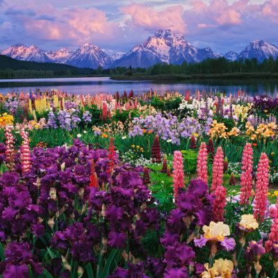 Iris and Lupine Garden and Teton Range at Oxbow Bend, Wyoming, USA