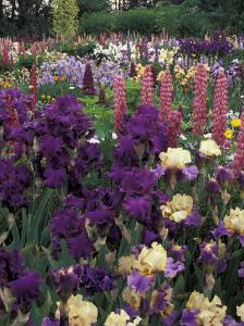 Iris Garden, Salem, Oregon, USA by Adam Jones