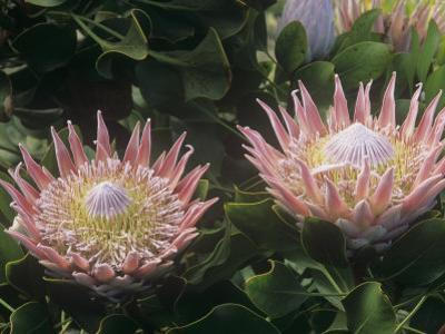 King Protea Flowers, Protea Cynaroides, . Protea Flowers are the National Flowers of South Africa