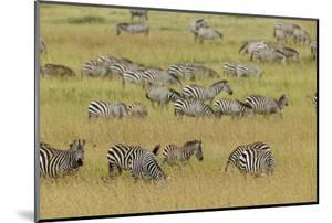 Large herd of Burchell's Zebra grazing in tall grass, Serengeti National Park, Tanzania, Africa by Adam Jones