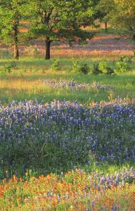 Late Afternoon Light on Meadow of Texas Paintbrush and Bluebonnets by Adam Jones