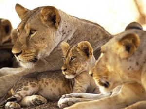 Lion cub among female lions, Samburu National Game Reserve, Kenya by Adam Jones