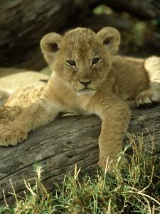 Lion, Panthera Leo 6 Week Old Cub Masai Mara, Kenya by Adam Jones
