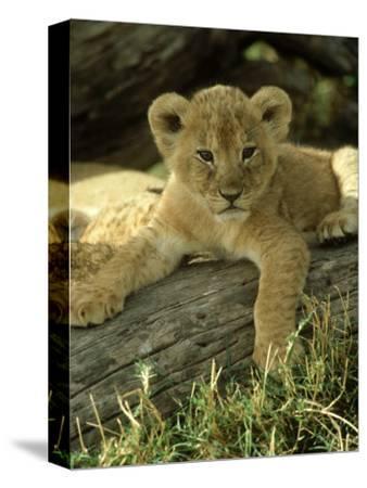 Lion, Panthera Leo 6 Week Old Cub Masai Mara, Kenya
