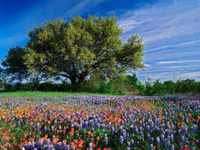 Live Oak, Paintbrush, and Bluebonnets in Texas Hill Country, USA