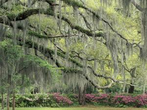 Live Oak Tree Draped with Spanish Moss, Savannah, Georgia, USA by Adam Jones