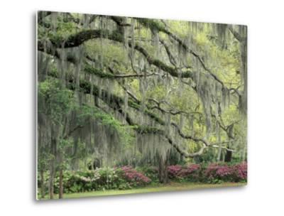 Live Oak Tree Draped with Spanish Moss, Savannah, Georgia, USA