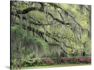 Live Oak Tree Draped with Spanish Moss, Savannah, Georgia, USA by Adam Jones