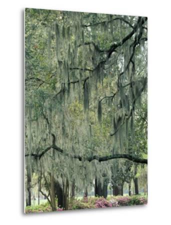 Live Oak Tree, Savannah, Georgia, USA