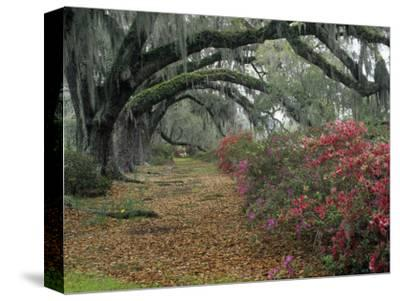Live Oaks, Quercus Virginiana, and Azaleas, Magnolia Plantation