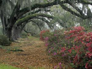 Live Oaks, Quercus Virginiana, and Azaleas, Magnolia Plantation by Adam Jones