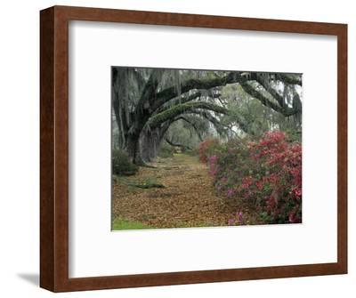 Live Oaks, Quercus Virginiana, and Azaleas, Magnolia Plantation