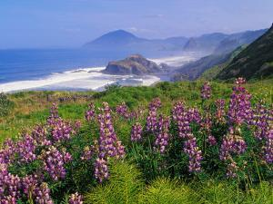 Lupine Flowers and Rugged Coastline along Southern Oregon, USA by Adam Jones