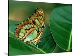 Malachite Butterfly, Siproeta Stelenes by Adam Jones