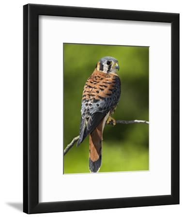 Male American Kestrel (Falco Sparverius), USA