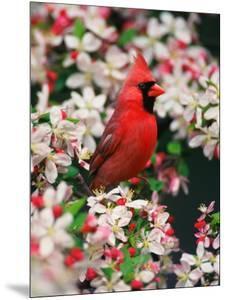 Male Northern Cardinal among Crabapple Blossoms by Adam Jones