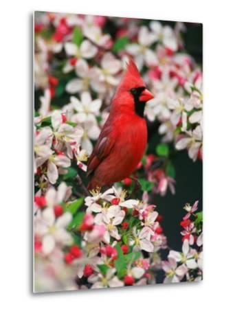 Male Northern Cardinal among Crabapple Blossoms