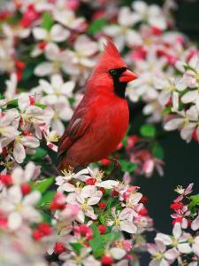 Male Northern Cardinal among Crabapple Blossoms by Adam Jones