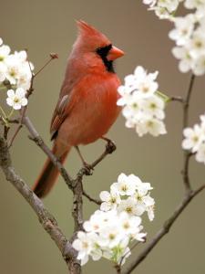 Male Northern Cardinal by Adam Jones