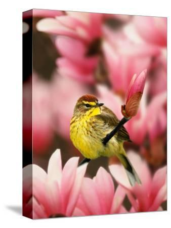 Male Palm Warbler in Magnolia Tree