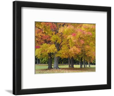 Maple Trees in Autumn Colors, Near Concord, Massachusetts