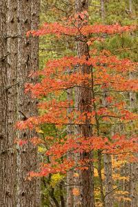 Maple Trees in Fall Colors, Hiawatha National Forest, Upper Peninsula of Michigan by Adam Jones
