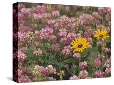 Meadow of Black-Eyed Susans, Rudbeckihirta, and Crown Vetch