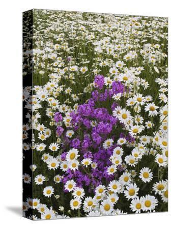 Meadow of Oxeye Daisies, Chrysanthemum Leucanthemum
