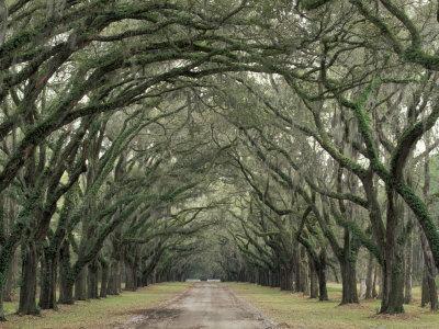 Moss-Covered Plantation Trees, Charleston, South Carolina, USA