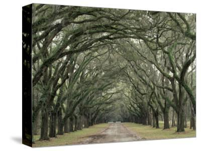 Moss-Covered Plantation Trees, Charleston, South Carolina, USA