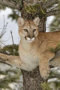 Mountain Lion in tree, Montana. Puma Concolor by Adam Jones