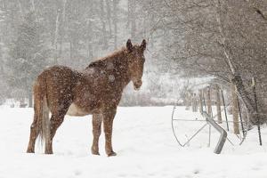 Mule and falling snow, Kalispell, Montana by Adam Jones