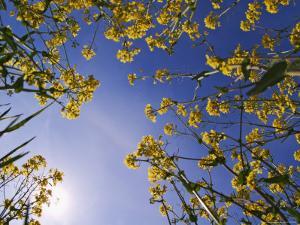 Mustard Flowers, Shaker Village of Pleasant Hill, Kentucky, USA by Adam Jones