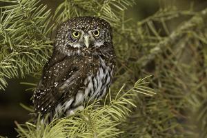 Northern Pygmy Owl, Glaucidium gnoma Montana by Adam Jones