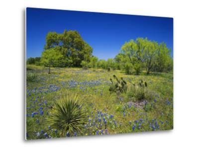 Oak and Mesquite Tree with Bluebonnets, Low Bladderpod, Texas Hill Country, Texas, USA