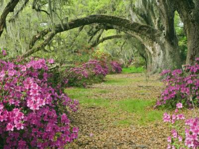 Oak Trees Above Azaleas in Bloom, Magnolia Plantation, Near Charleston, South Carolina, USA