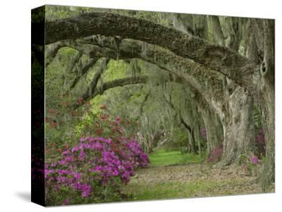Oak Trees Above Azaleas in Bloom, Magnolia Plantation, Near Charleston, South Carolina, USA