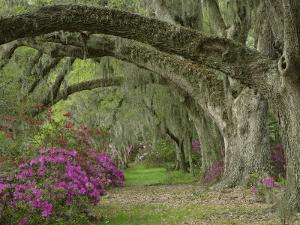 Oak Trees Above Azaleas in Bloom, Magnolia Plantation, Near Charleston, South Carolina, USA by Adam Jones