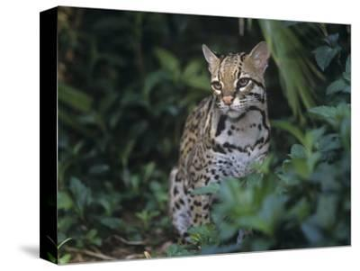 Ocelot, Felis Pardalis, a Threatened Species of Wild Cat, Southern Usa into South America