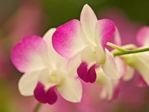 Orchids, Selby Gardens, Sarasota, Florida, USA by Adam Jones