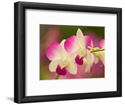 Orchids, Selby Gardens, Sarasota, Florida, USA