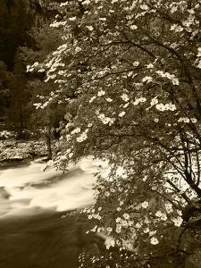 Pacific Dogwood Tree, Merced River, Yosemite National Park, California, USA by Adam Jones