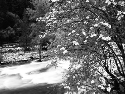 Pacific Dogwood Tree, Merced River, Yosemite National Park, California, USA