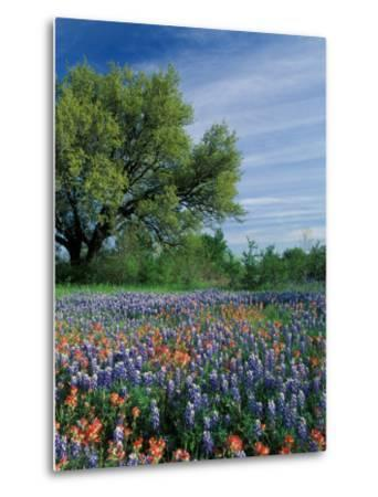 Paintbrush and Bluebonnets, Hill Country, Texas, USA