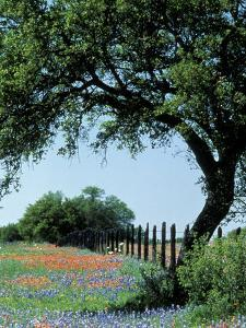 Paintbrush and Bluebonnets, Texas Hill Country, Texas, USA by Adam Jones