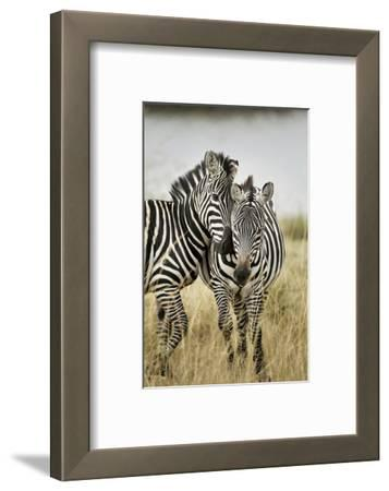 Pair of Burchell's Zebras Nuzzling Up to Each Other, Masai Mara, Kenya