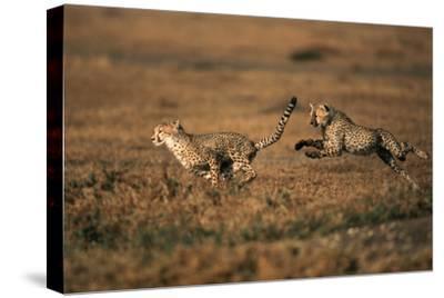Pair of Cheetahs Running, Maasai Mara, Kenya
